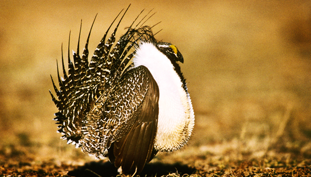 sage grouse season